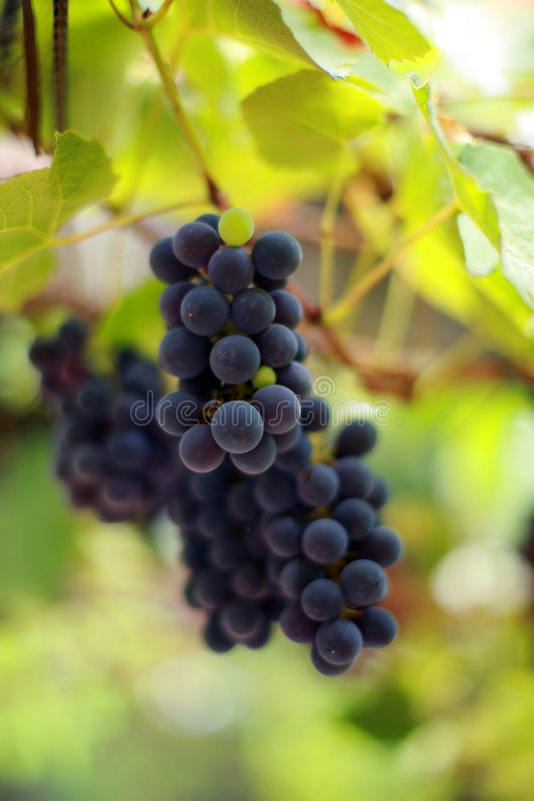 Free Grapes Royalty Free Stock Image - 3548806