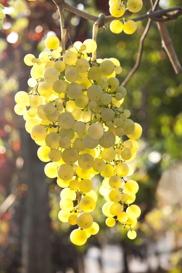 Free Grapes Stock Image - 39958801
