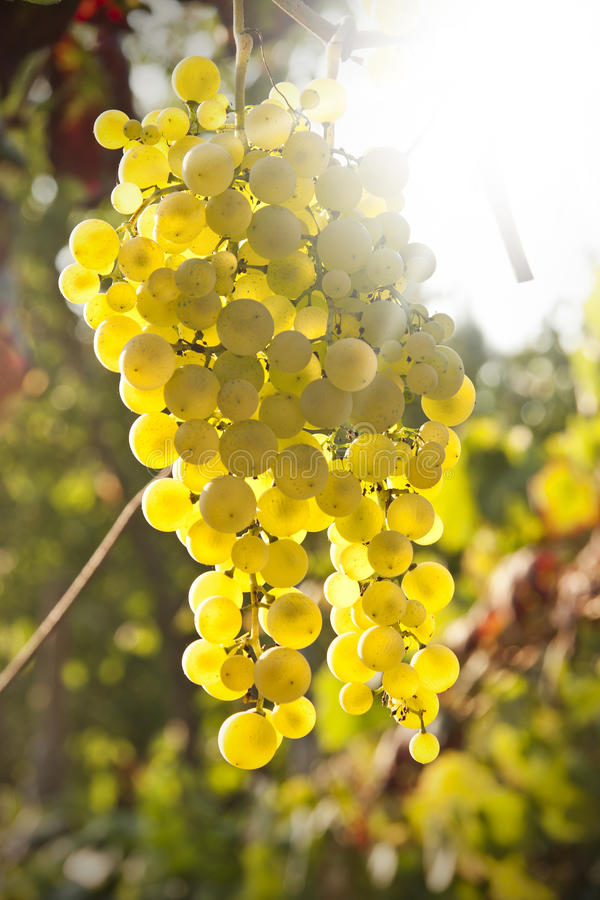 Free Grapes Royalty Free Stock Images - 39958809
