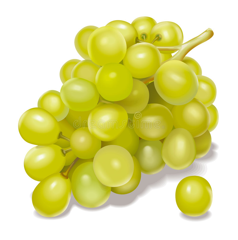 Grapes. Detailed illustration of a cluster of grapes