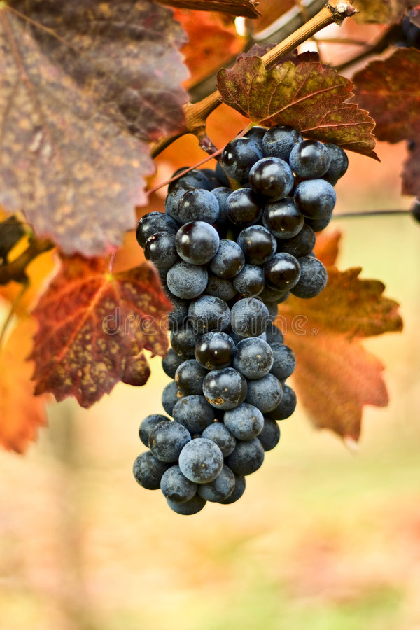 Grapes. Bunch of grapes on the vine stock photo