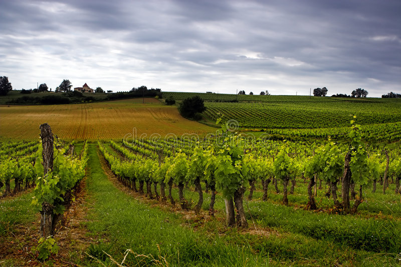 Download Grapes stock photo. Image of peaceful, scenery, sunny, countryside - 959978