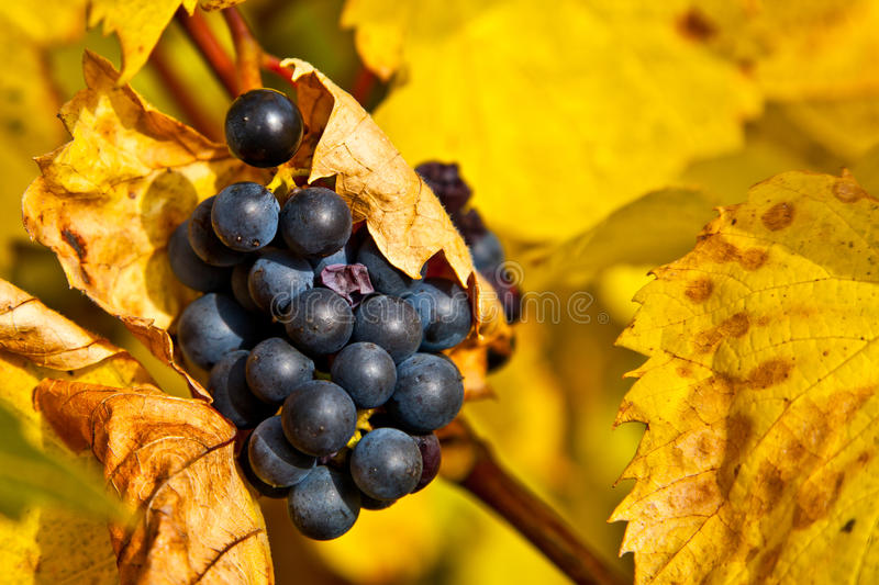 Grapes in Autumn royalty free stock image