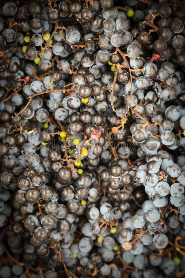 Grapes in basket Isabella wine grapes stock image