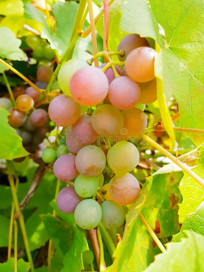Grapes on branch. Details and closeup of wine grapes. stock photography