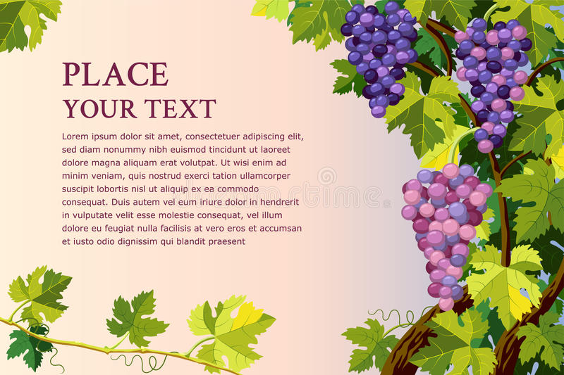 Grapes bunches vector illustration