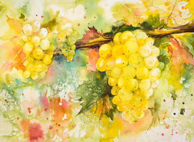 Grapes. Bunches of yellow grapes in vineyard.Picture created with watercolors vector illustration