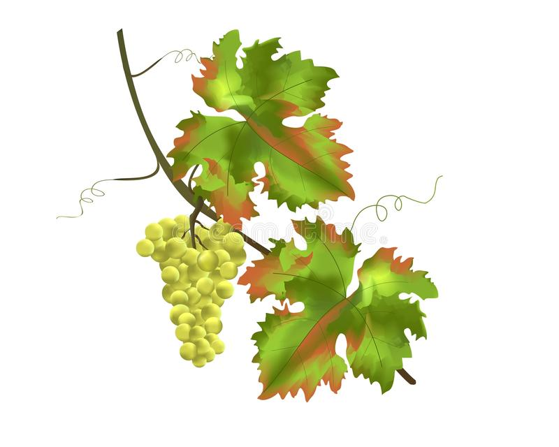Grapes, cdr vector royalty free stock photography