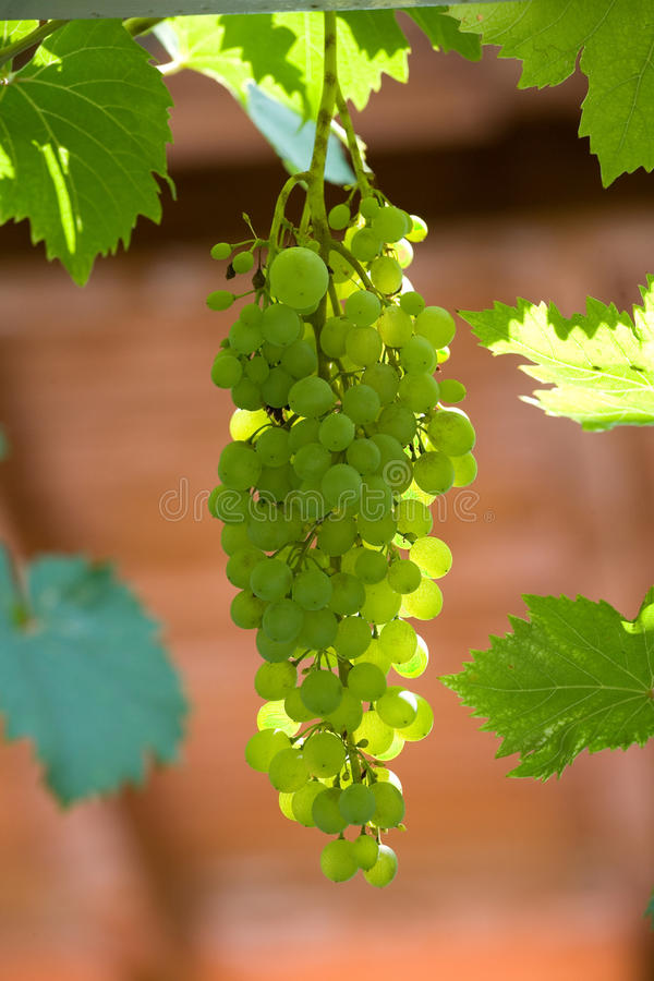 Download Grapes cluster stock image. Image of nature, green, berry - 12461965