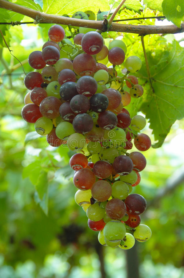 The grapes color stock images