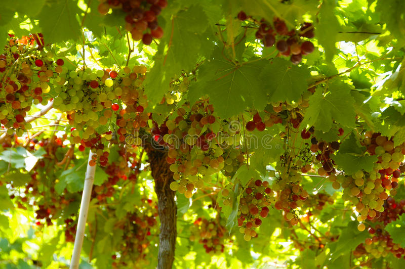 Grapes colors royalty free stock photography