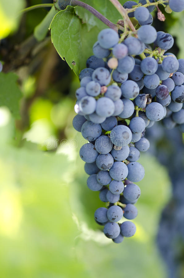 Download Grapes stock image. Image of table, grapes, merlot, grapevine - 33427307