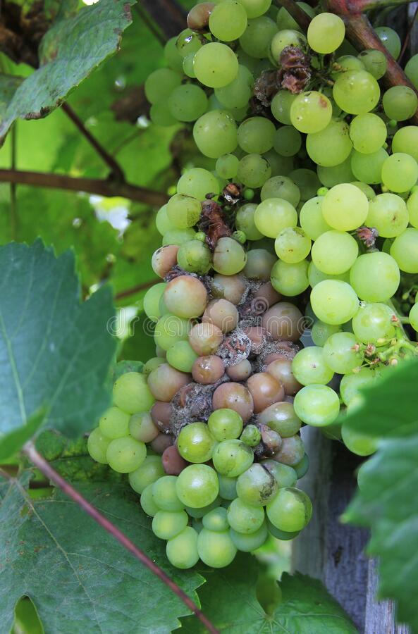 Free Grapes Disease. Gray Rot On The Grape. Berries Are Infected With Mold. Spoiled Bunch Hanging On A Vine. Botrytis Cinerea Royalty Free Stock Photos - 177776358