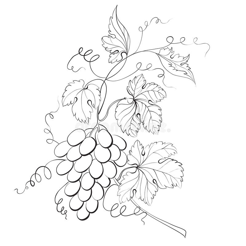 Grapes engraving. Vector illustration. This is file of EPS10 format royalty free illustration