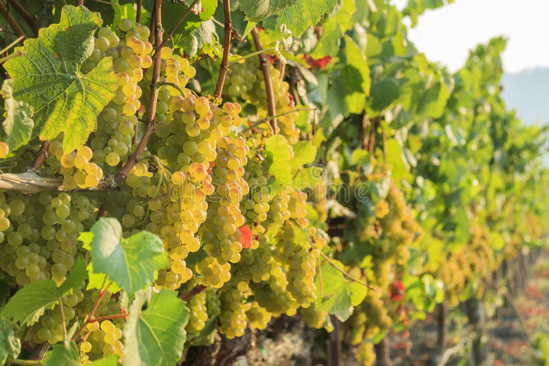 The grapes farm of Napa Valley royalty free stock photography