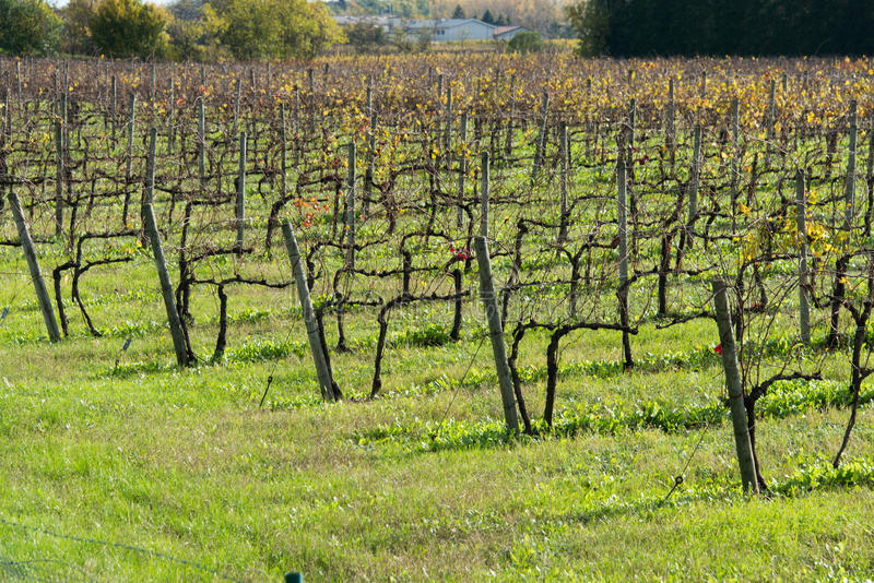 Grapes fields during winter fall royalty free stock photo