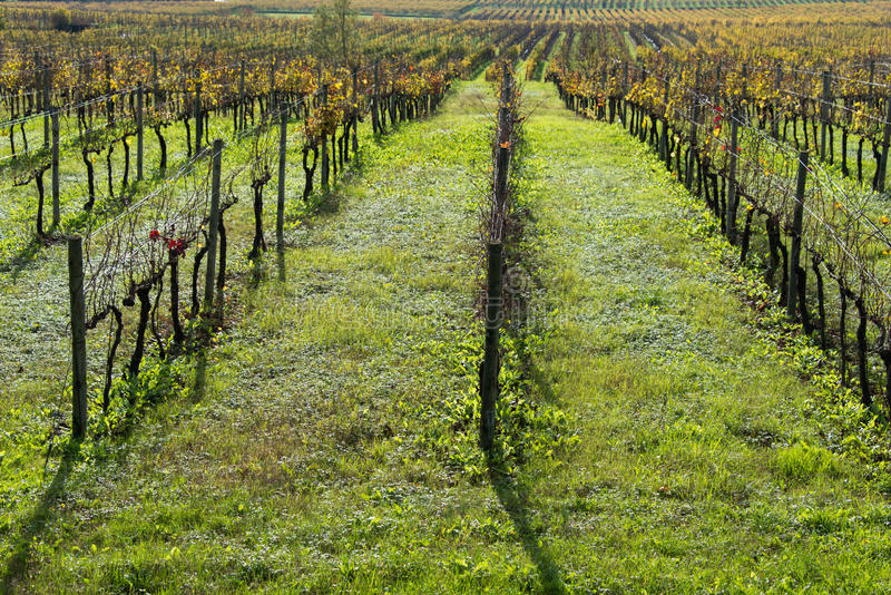 Grapes fields royalty free stock images