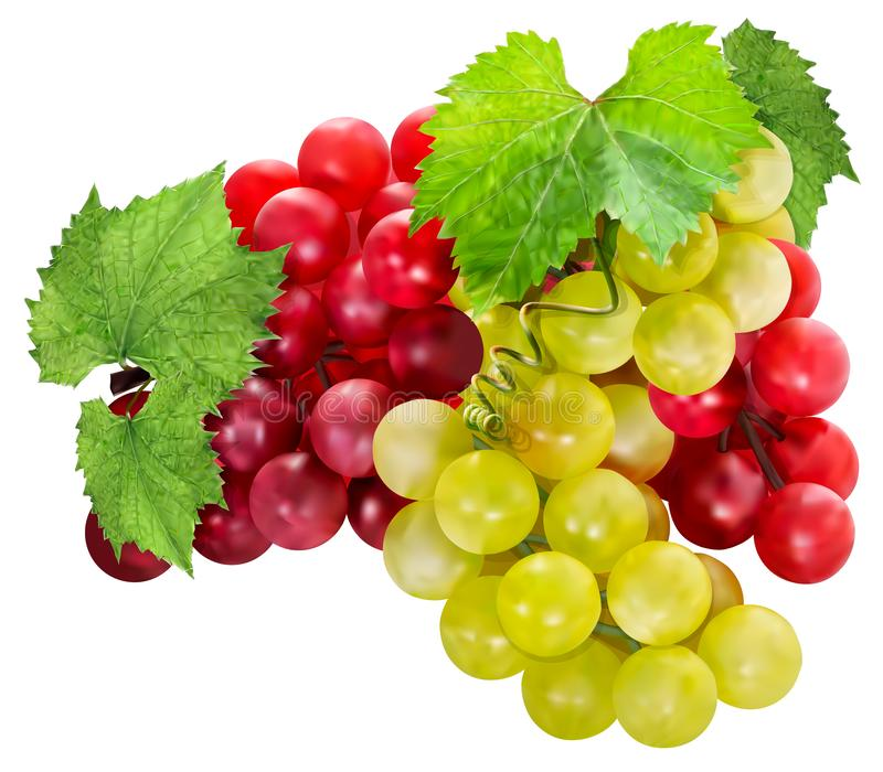 Fresh bunches of red and green grapes with green leaves. Grapes isolated on white background. 3d vector illustration royalty free illustration