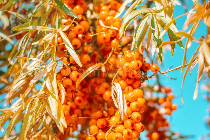 Grapes of fresh orange sea-buckthorn food with leaves on tree branch against blue sky background. Autumn concept of harvesting billet berries for cooking baking royalty free stock photography