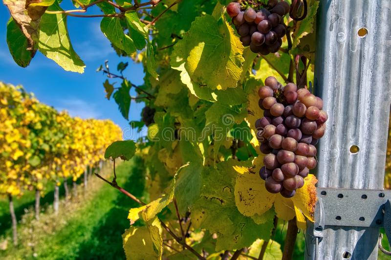 Grapes Fruits Closeup Vineyard Fall Leaves Autumn Farming Agriculture Wine Plants Outdoors Daytime stock photography