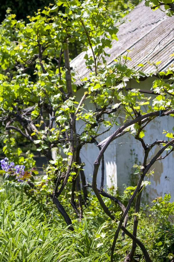 Grapes in the garden. vine. young grapes. Spring. royalty free stock photo