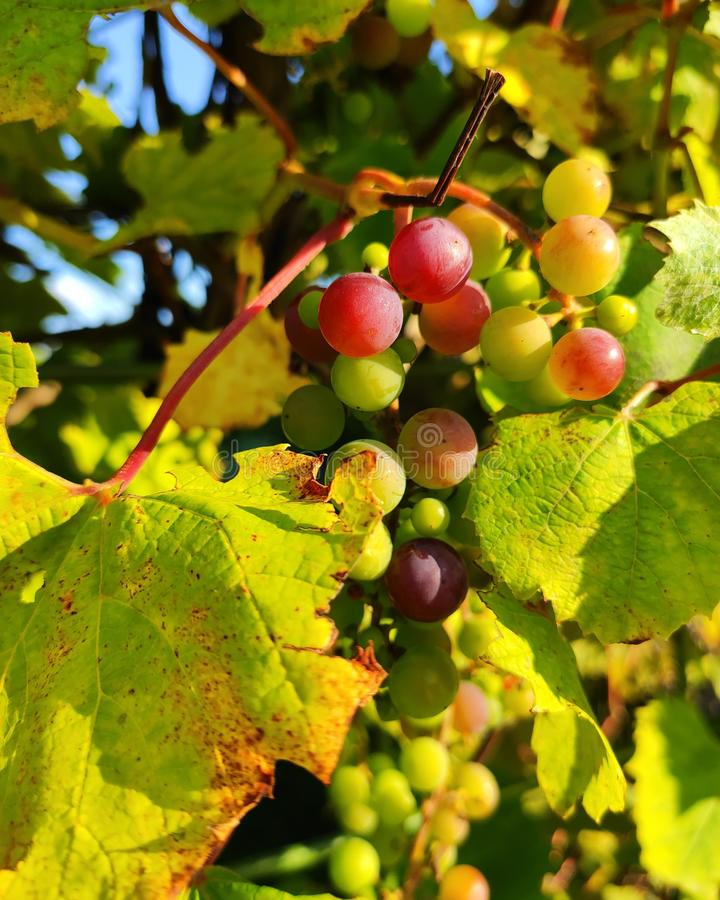 Grapes. Autumn, leaves, fruits, nature royalty free stock image