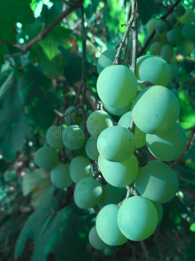 grapes green стоковое фото rf