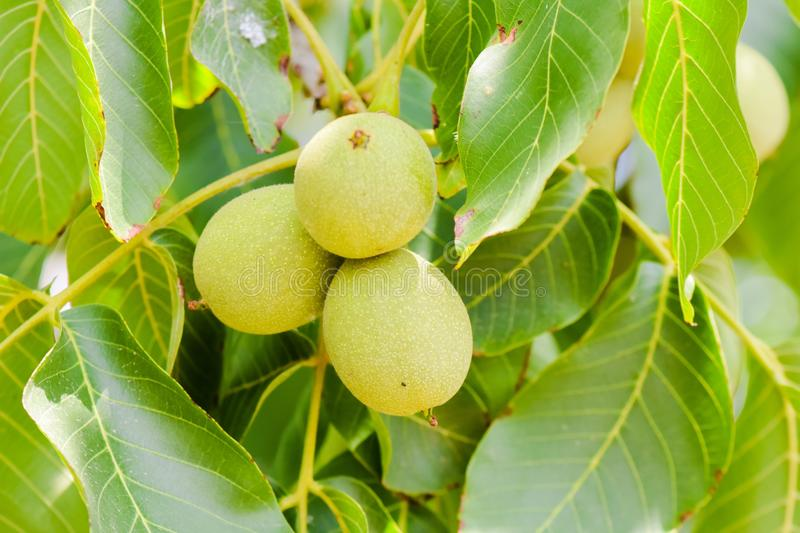 Walnuts on tree royalty free stock photo