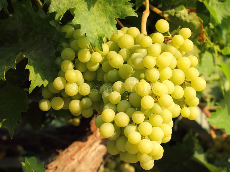 Grapes. Green grapes growing in the garden royalty free stock photo