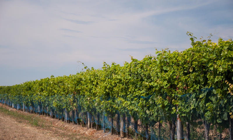 Download Grapes growing stock image. Image of rows, ripening, italy - 26843393