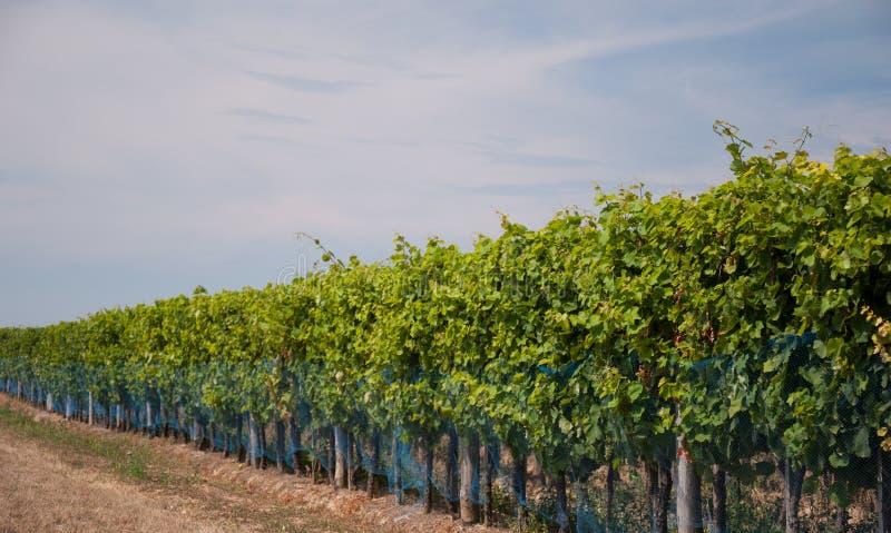 Grapes growing stock photos