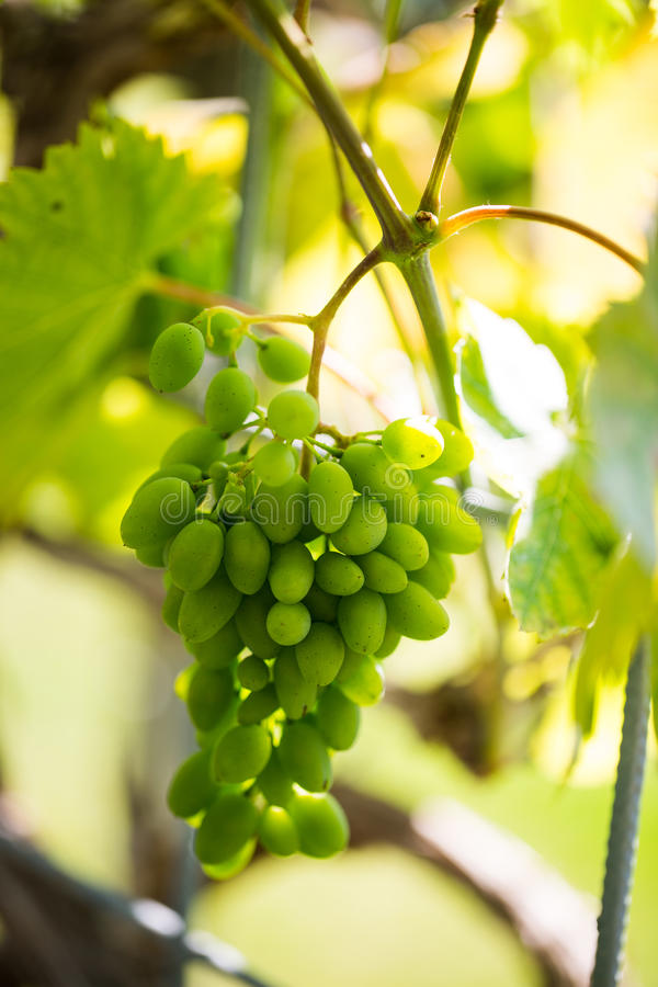 Grapes grown in the glass. Grapes grown in the glas, seed, nursery, plant stock photography