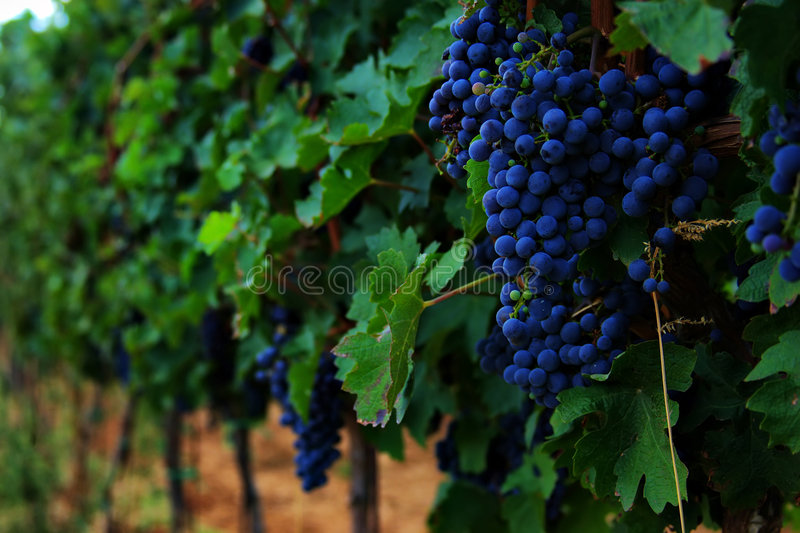 Grapes hanging from a vine. Rows of vines with blue grapes royalty free stock images