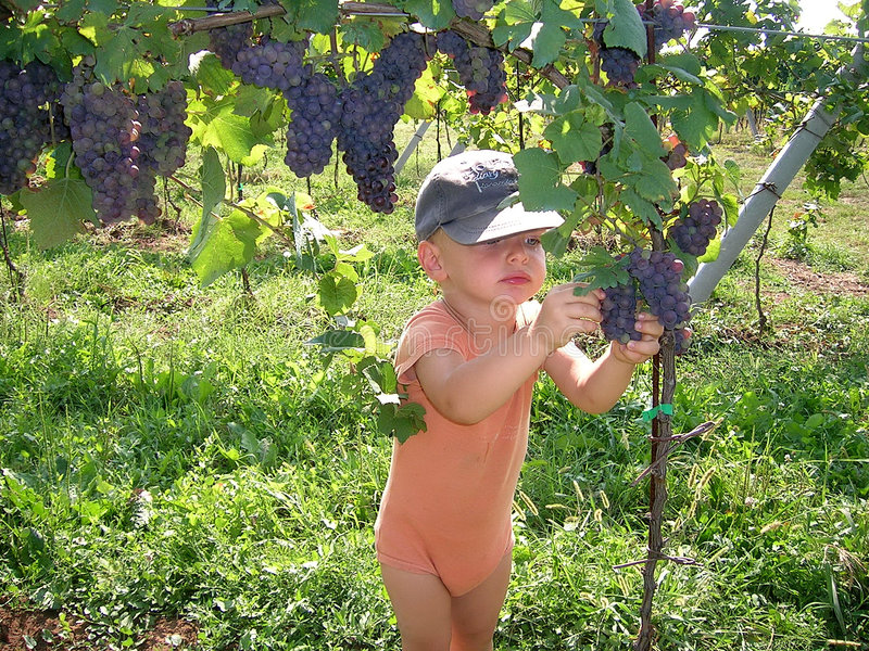 Grapes harvest stock image