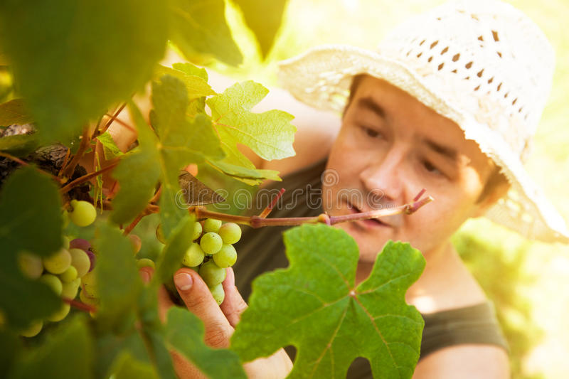 Download Grapes Harvest Royalty Free Stock Photos - Image: 26210448