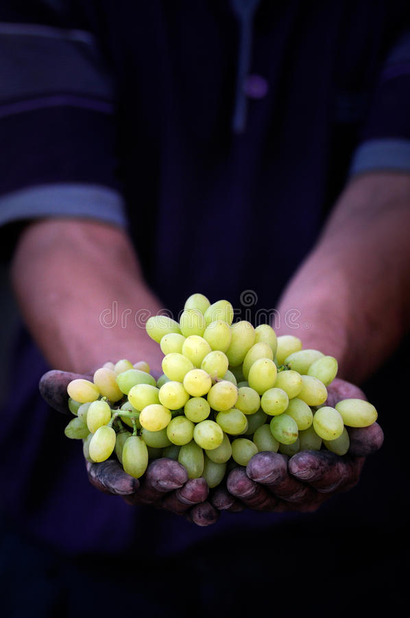 Grapes harvest in farmers hands. Close up grapes harvest. Farmers hands with freshly harvested black grapes royalty free stock image