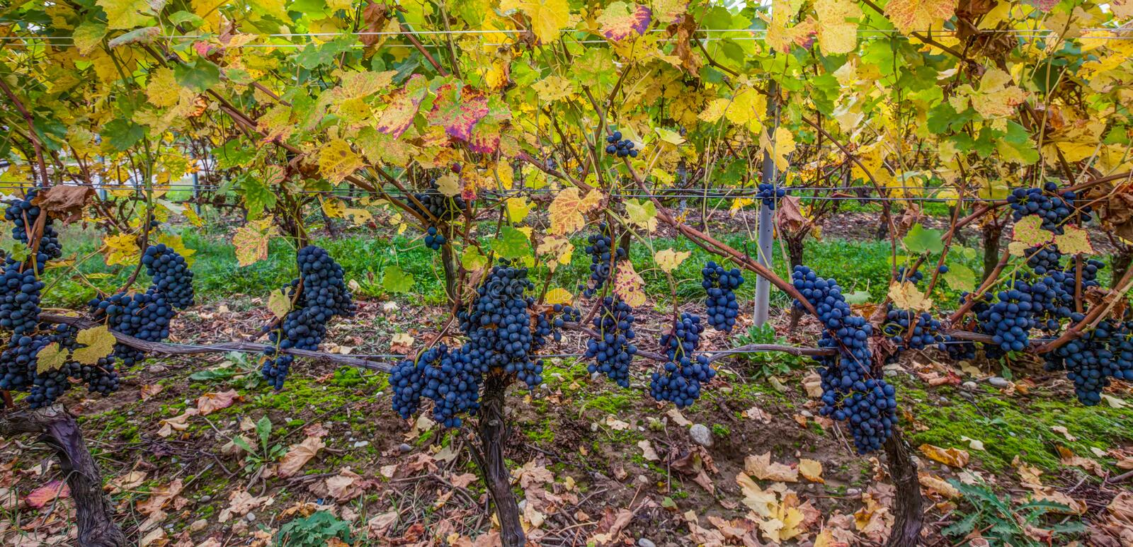 Download Grapes IV Royalty Free Stock Photo - Image: 27153525