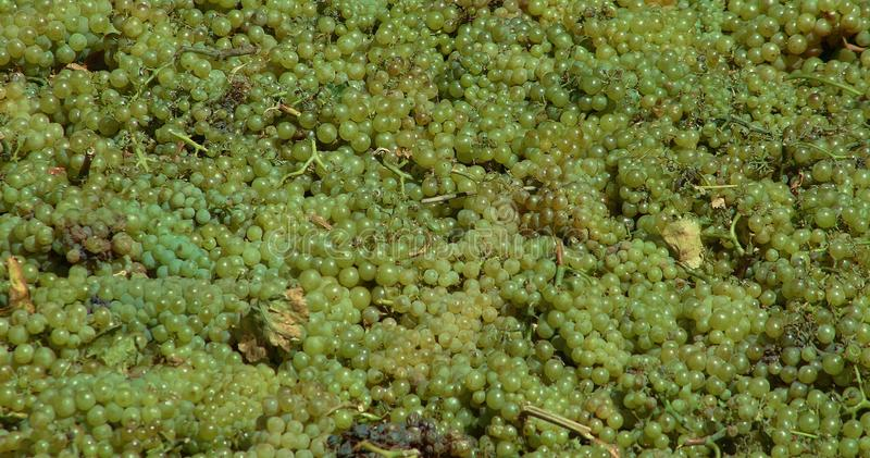 Grapes. Just picked and getting ready for crush in Napa Valley stock photos