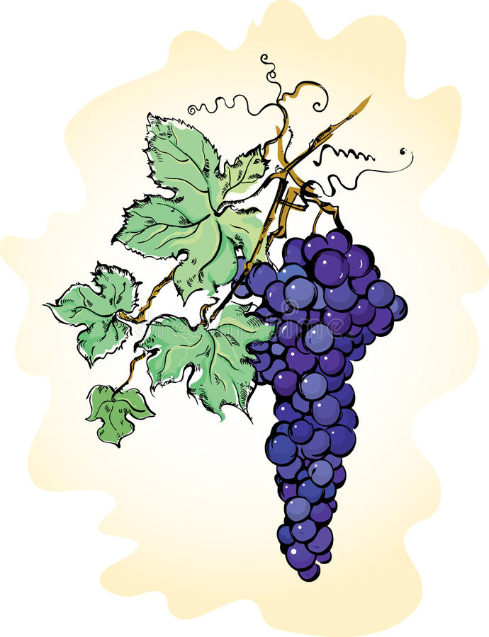 Grapes with leaves vector illustration