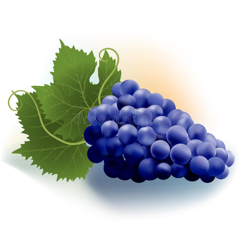 Grapes and leaves vector illustration