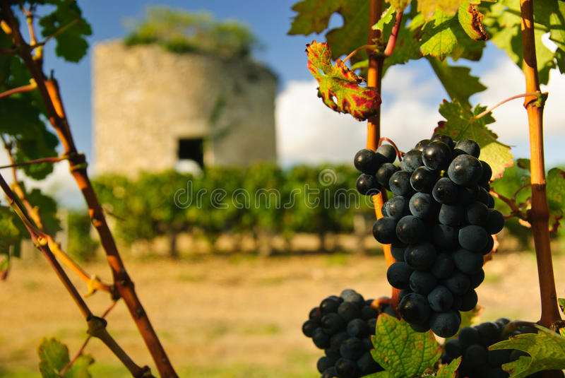 Grapes and medieval tower. In vineyard in region Medoc, France royalty free stock images