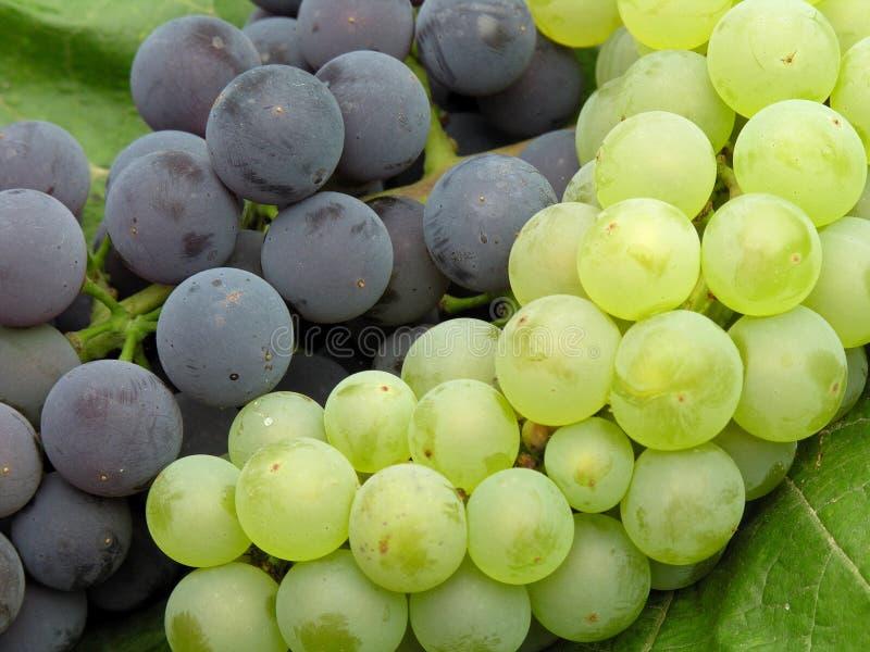 Grapes mixed. Grapes 2 varieties ready to harves stock image