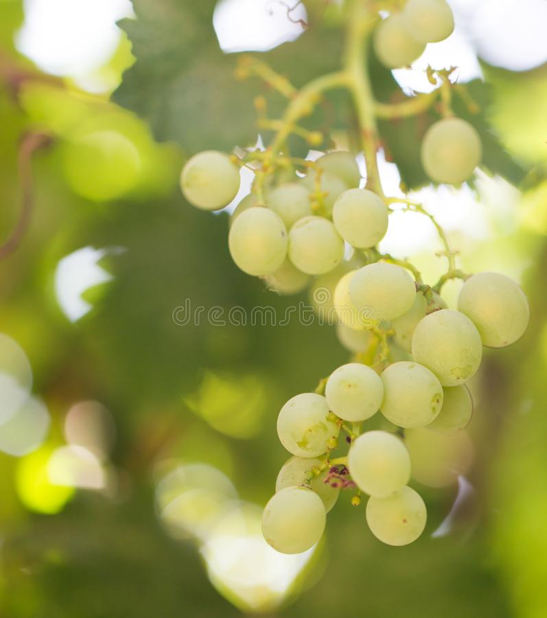 Grapes on the nature royalty free stock image