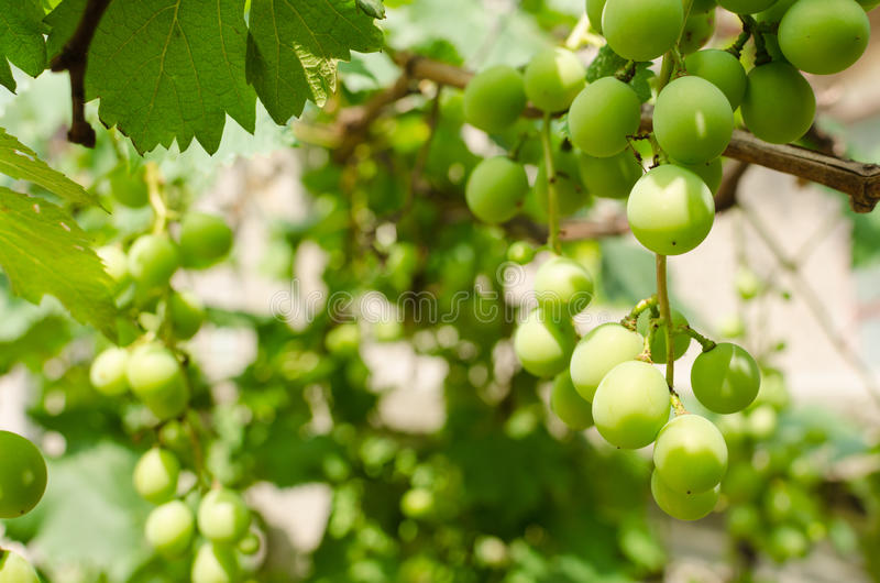 Grapes. At noon, the Grapes trees grown in stock images