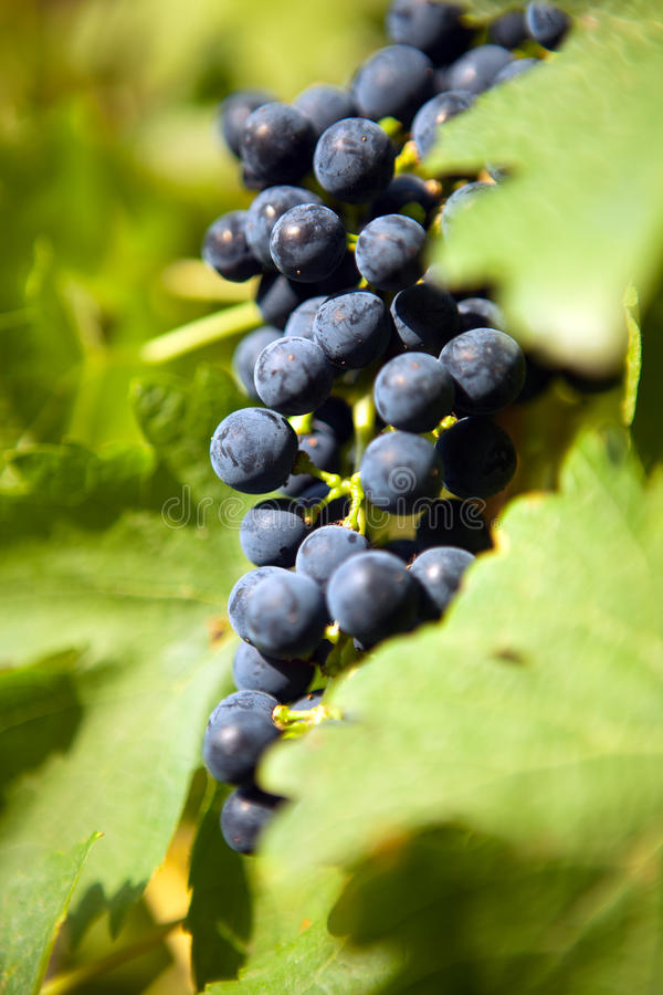 Free Grapes On A Vine 1 Stock Photos - 10813193