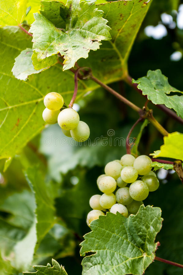 Free Grapes On The Vine Royalty Free Stock Photos - 35545058