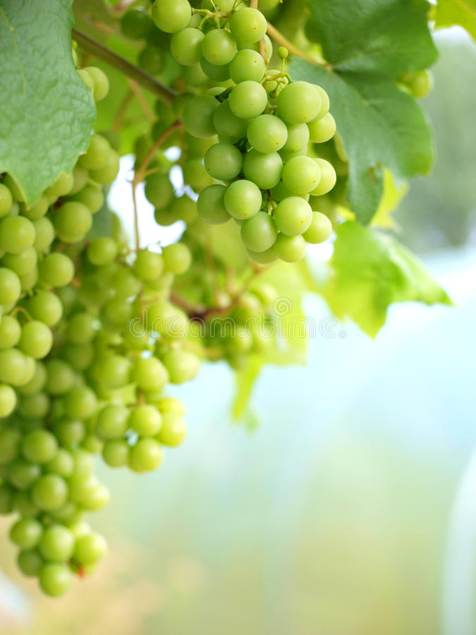 Free Grapes On Vine Portrait Royalty Free Stock Image - 15809496