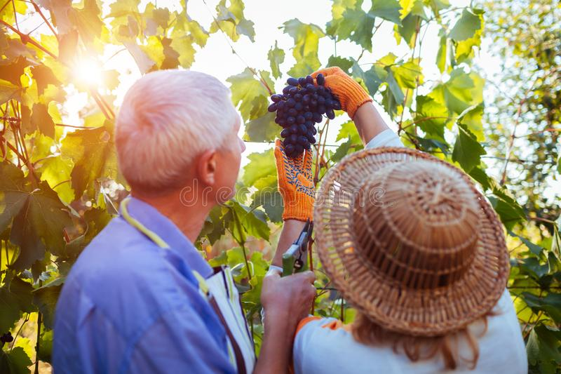 Grapes picking. Couple of farmers gather crop of grapes on ecological farm. Happy senior man and woman checking grapes stock image
