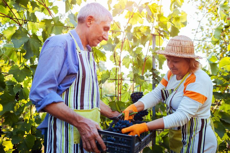 Grapes picking. Couple of farmers gather crop of grapes on farm. Happy senior man and woman putting grapes in box stock photo