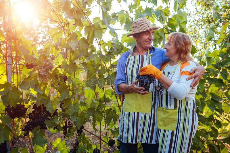 Grapes picking. Couple of farmers gather harvest of grapes on farm. Happy senior man and woman checking grapes royalty free stock photos